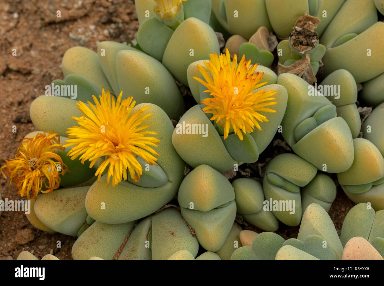 A succulent vygie, Lobster Claws, Cheiridopsis pillansii, in flower, semi-desert, South Africa. - Stock Image