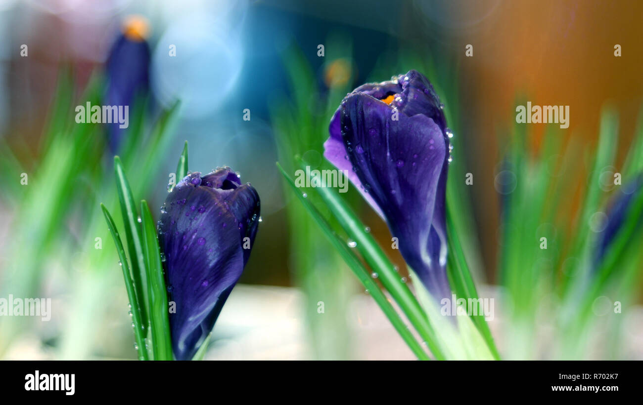 crocuses in spring with water pearls Stock Photo