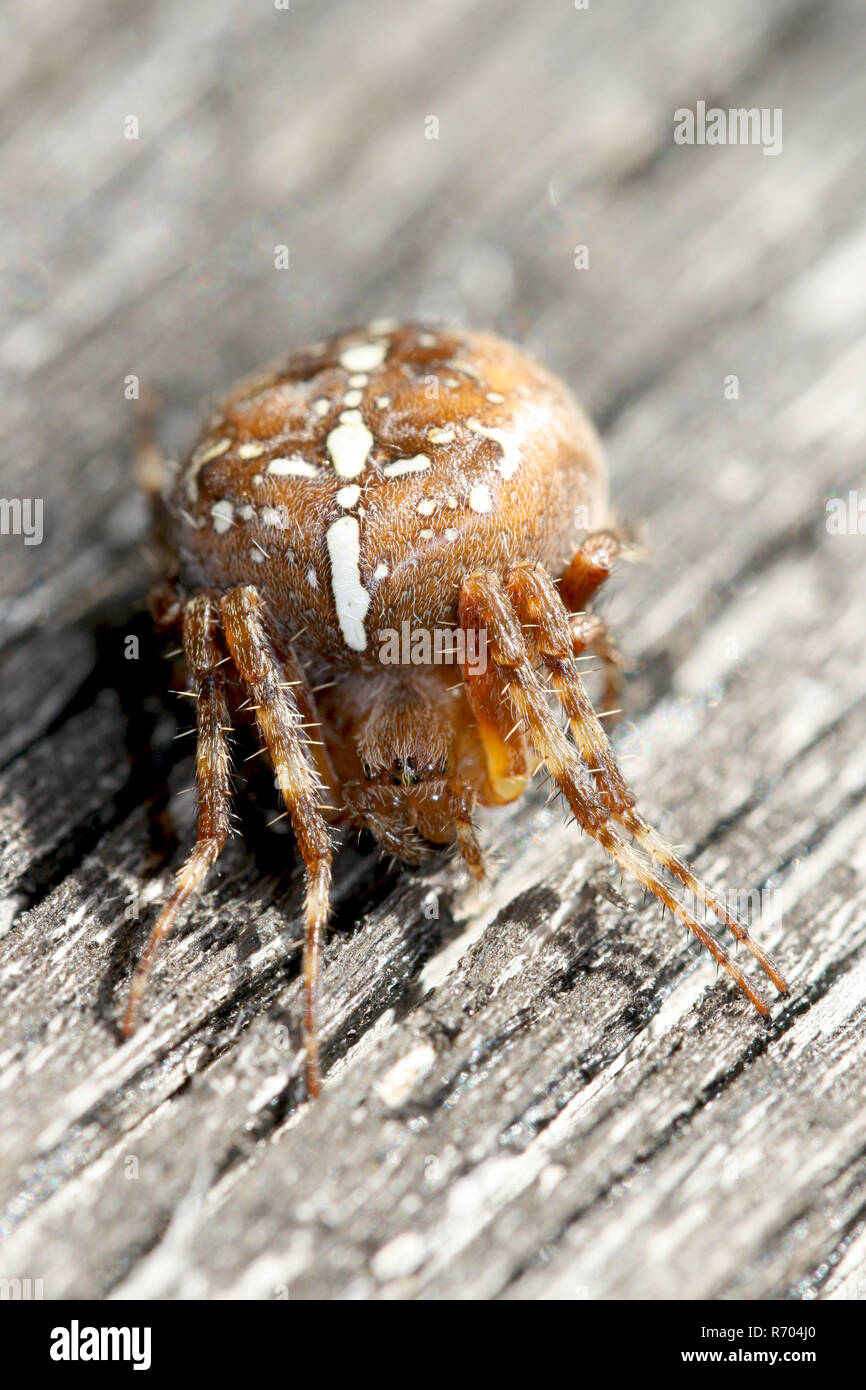 cross spider sits on weathered wood - Stock Image