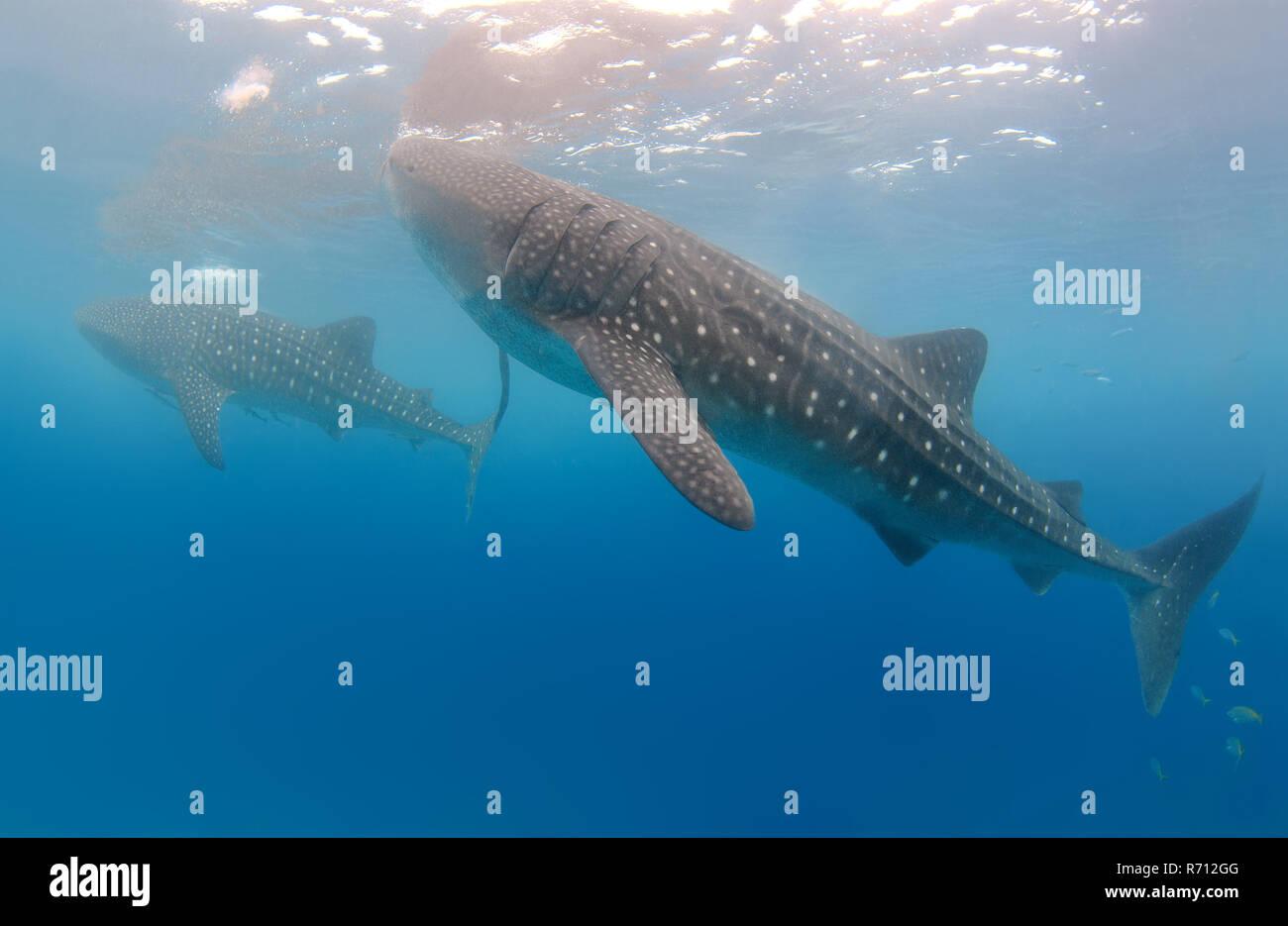 Whale Shark, also Basking Shark (Rhincodon typus), Bohol Sea, Oslob, Cebu, Philippines - Stock Image