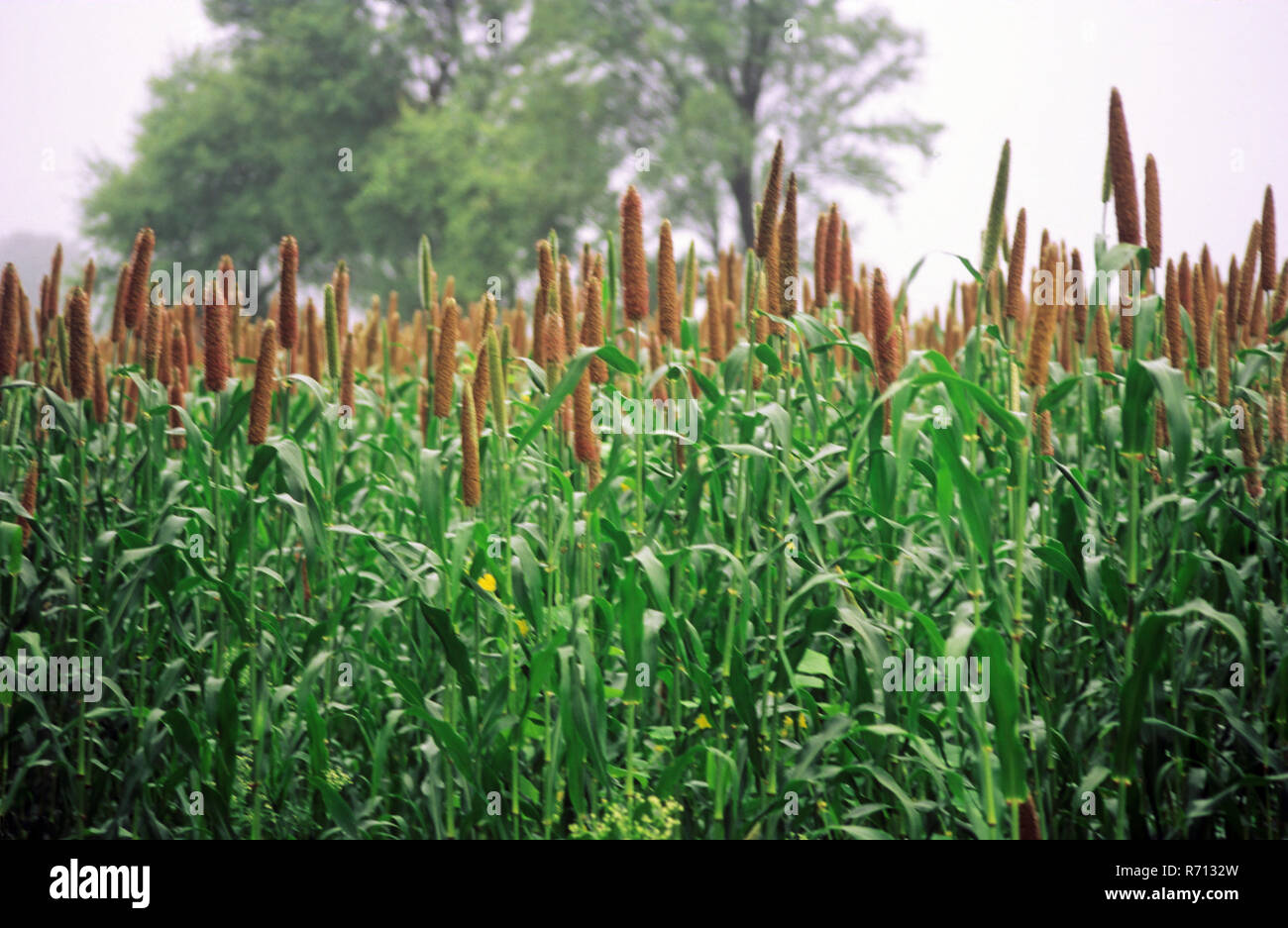 bajra (cereal-grain) fields, sakuri, maharashtra, india - Stock Image