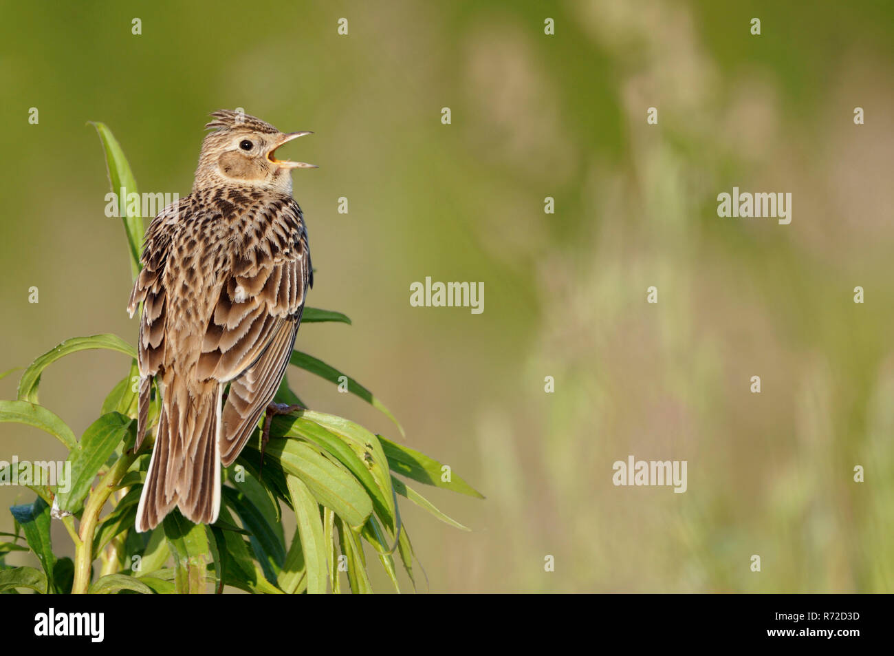 Skylark / Feldlerche ( Alauda arvensis ) perched on top of a plant, singing its typical song, nice backside view, wildlife, Europe. - Stock Image