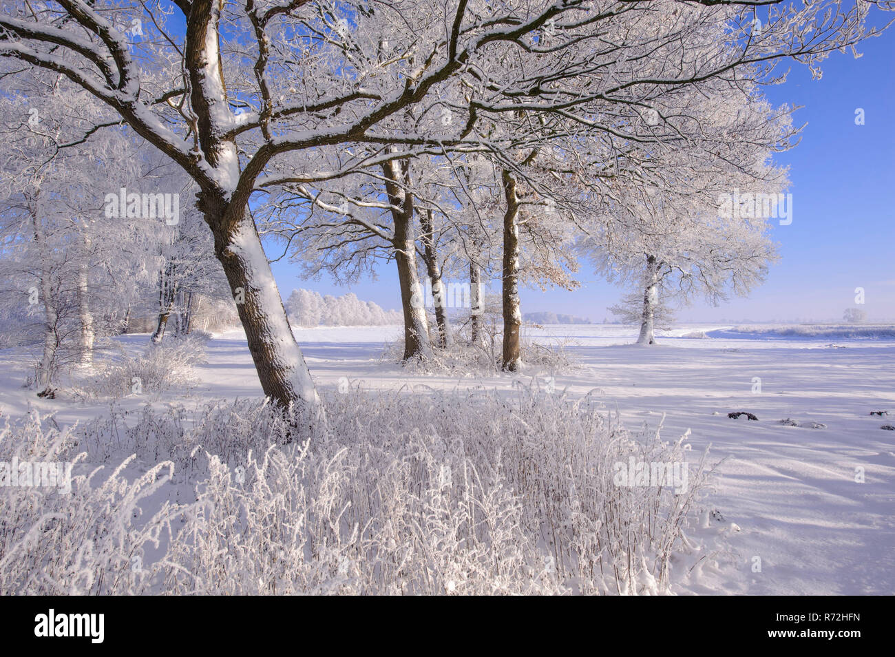 Hoarfrost covered oak treea, Lower Saxony, Germany, (Quercus spec.) - Stock Image