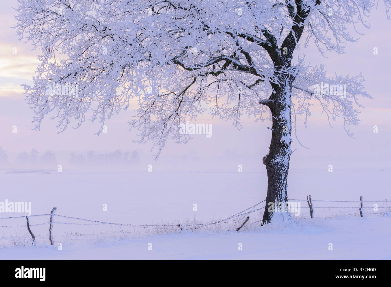 Hoarfrost covered oak tree, Lower Saxony, Germany, (Quercus spec.) - Stock Image