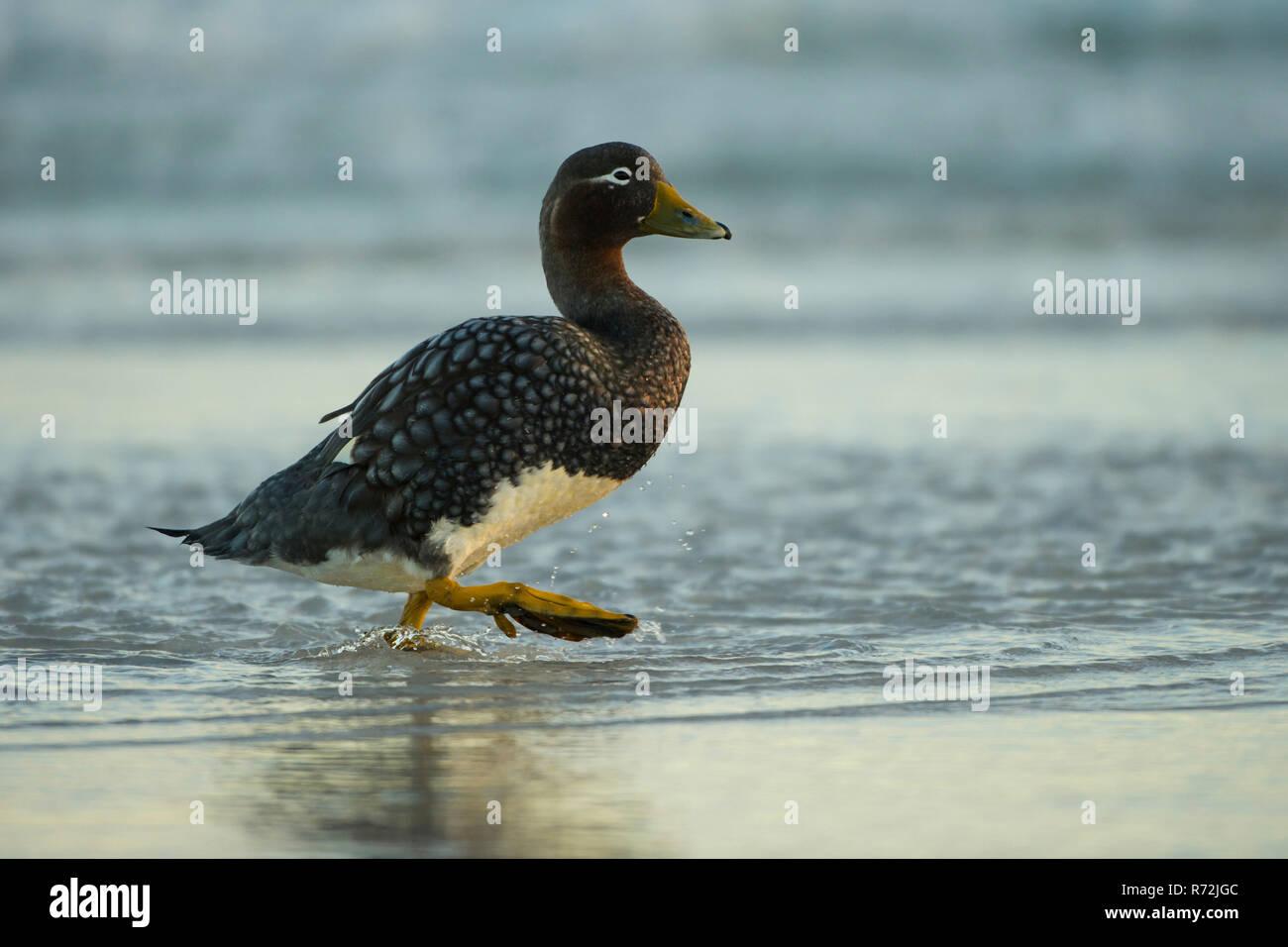Sealion Island, Falkland Islands, United Kingdom, Falkland Flightless Steamer Duck, (Tachyeres brachypterus) - Stock Image