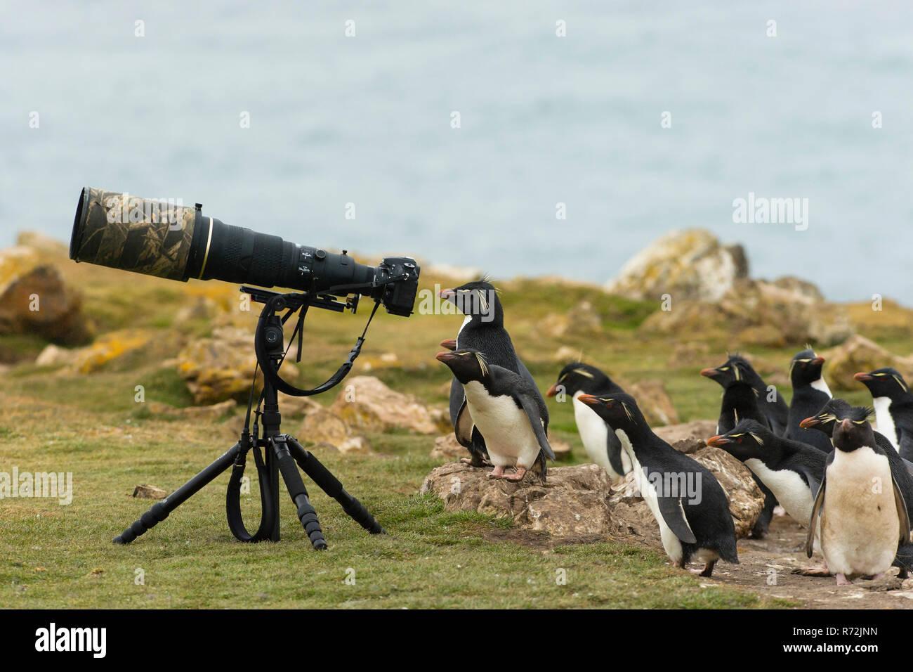 Pebble Island, Falkland Islands, United Kingdom, Southern rockhopper penguine behind camera with telephoto lens, (Eudyptes chrysocome) - Stock Image