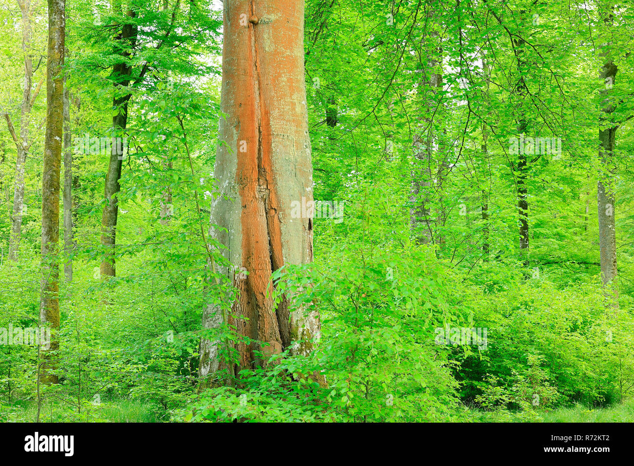 beech tree, nature park Upper Danube, Germany (Fagaceae, Fagus) - Stock Image