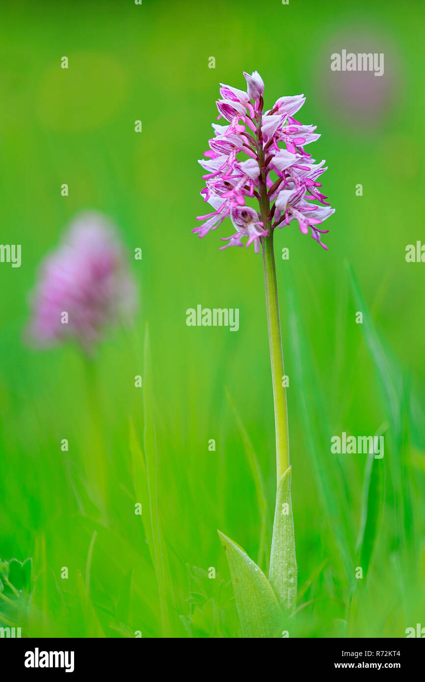 military orchid, Germany (Orchidaceae, Orchis militaris) - Stock Image
