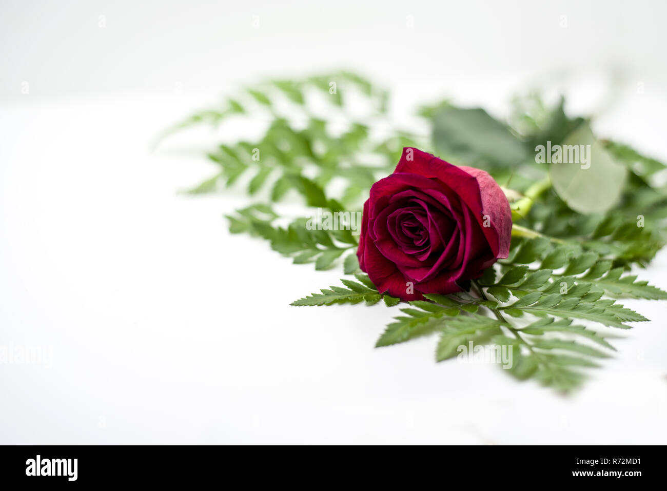 red rose decrepit on green on white background - Stock Image