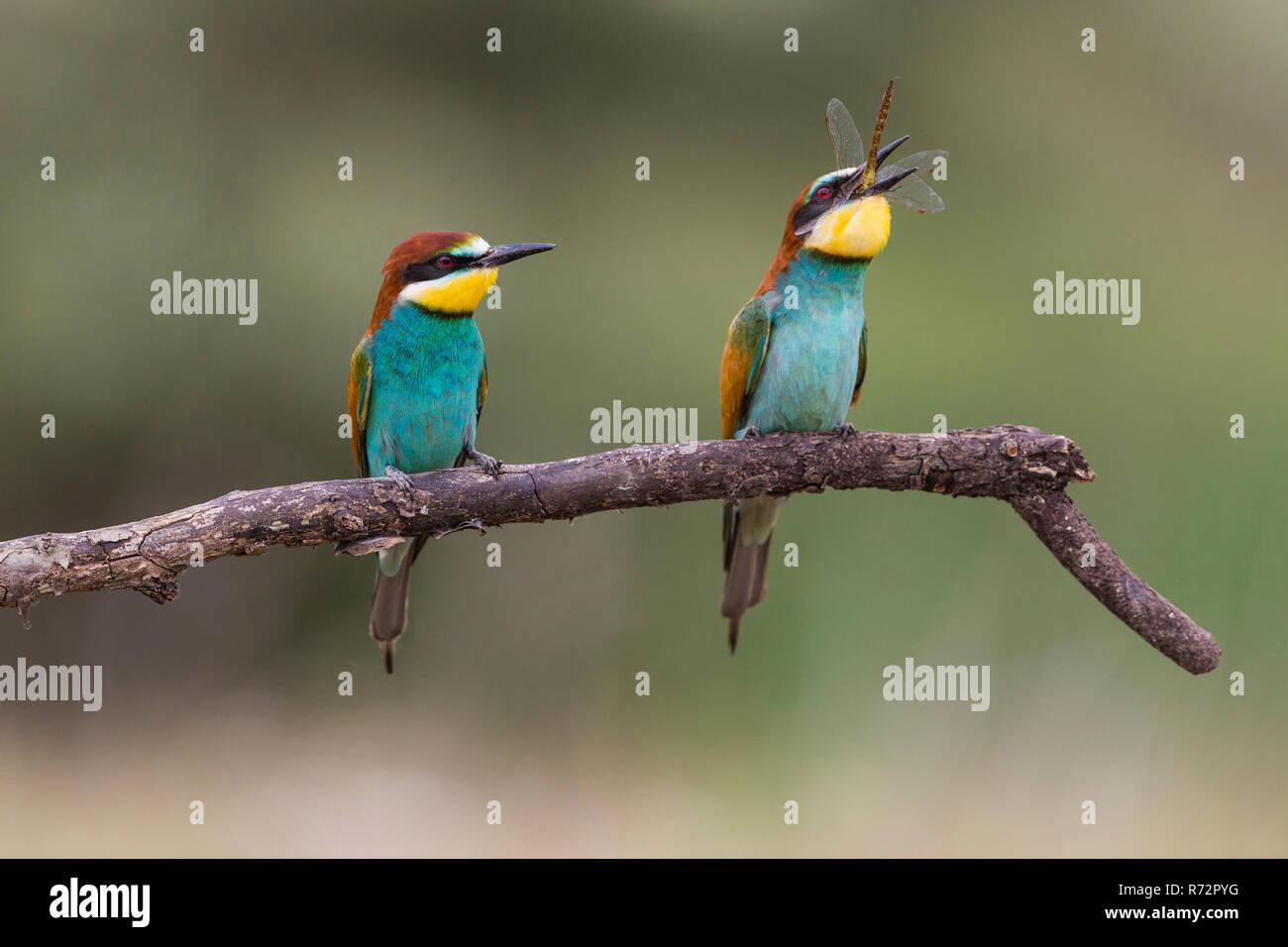 Bee-eater, Romania, (Merops apiaster) Stock Photo