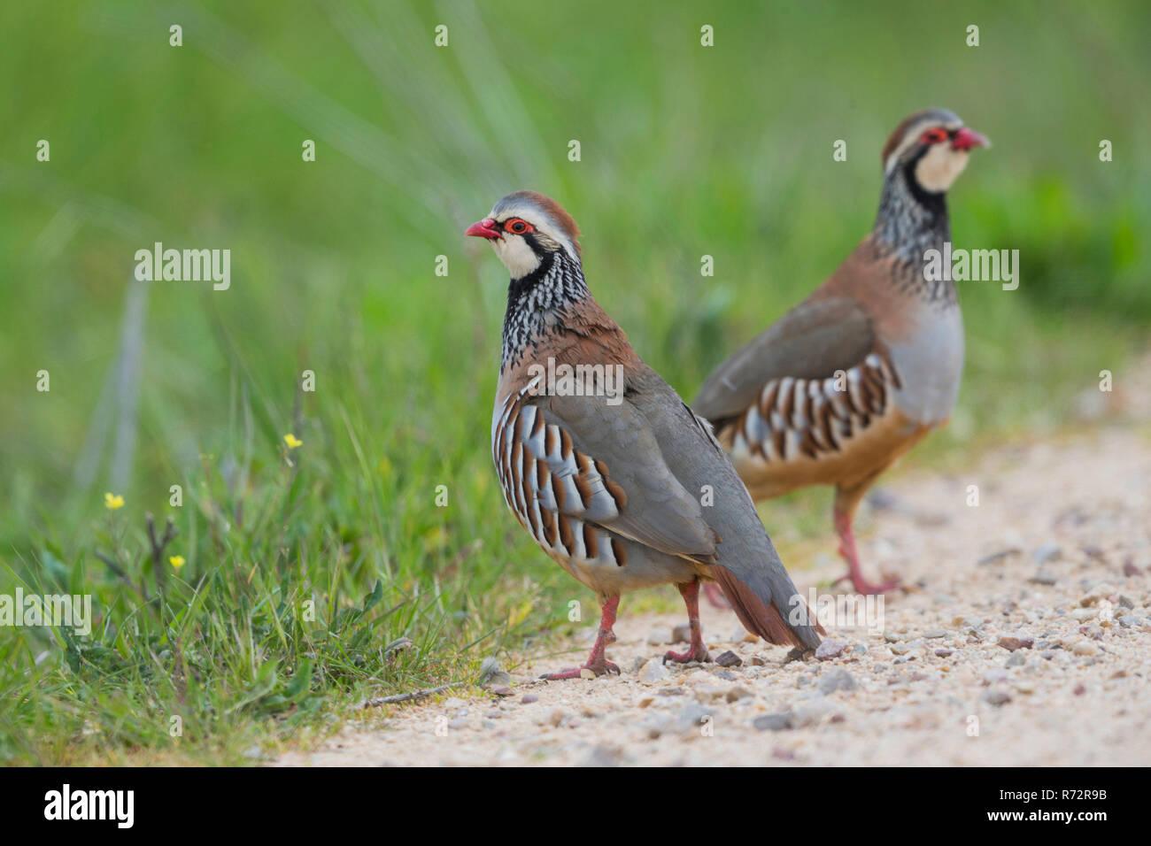 Red legged partridge, Spain, (Alectoris rufa) - Stock Image