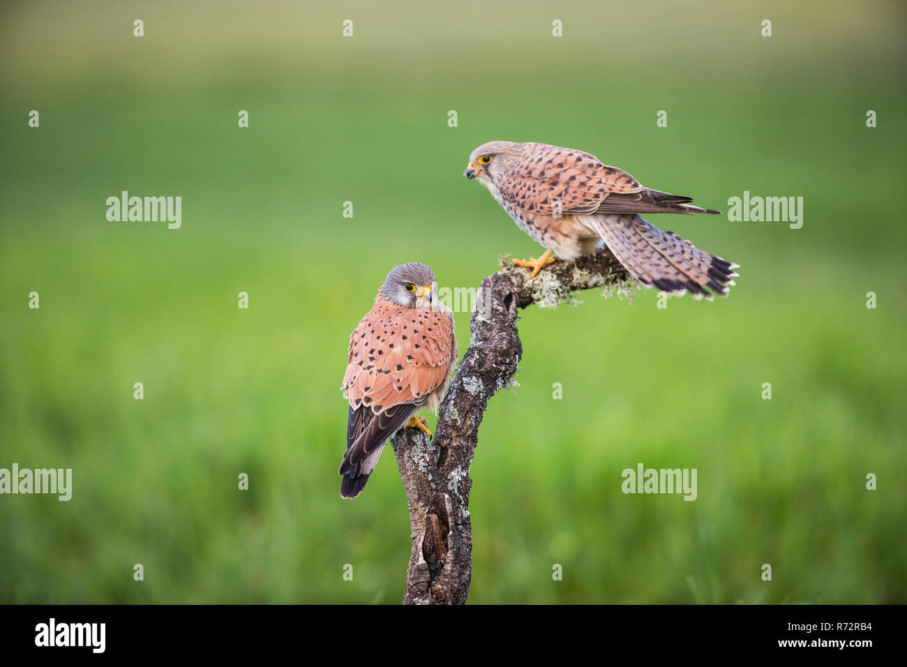 Kestrel m, Spain, (Falco tinnunculus) - Stock Image