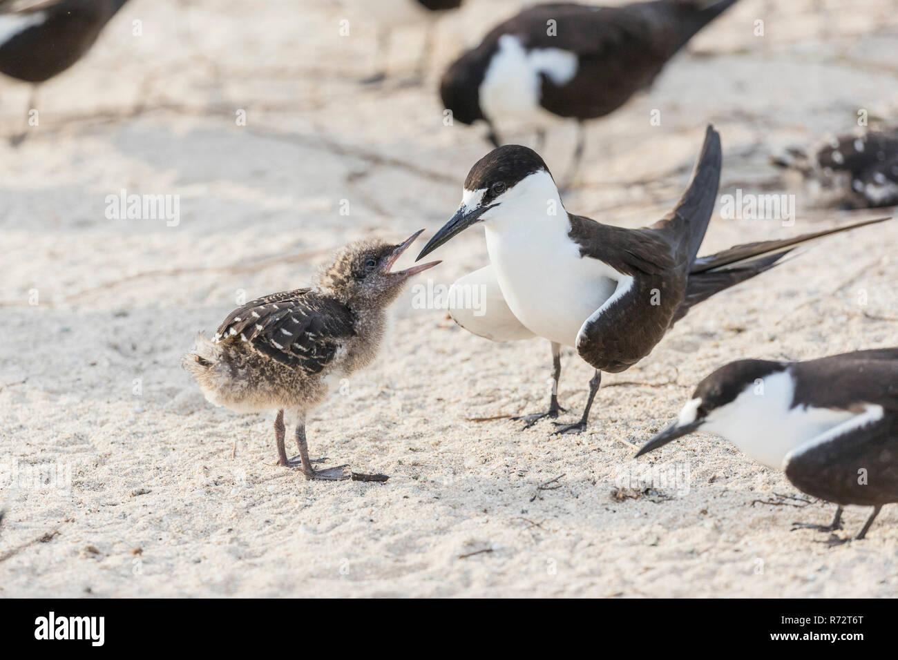 Sooty tern, Bird Island, Seychelles, (Onychoprion fuscatus) Stock Photo