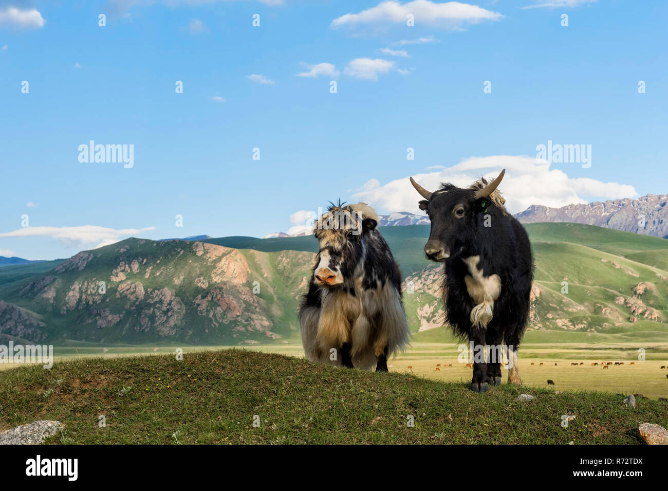 Two Yaks in front of the mountains, Naryn gorge, Naryn Region, Kyrgyzstan - Stock Image