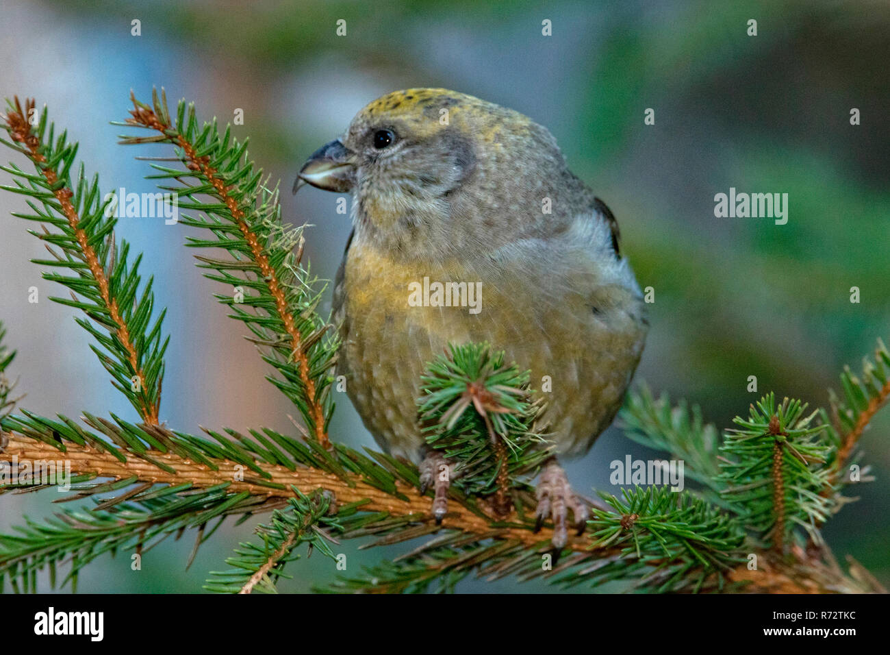 red crossbill, female, (Loxia curvirostra) - Stock Image
