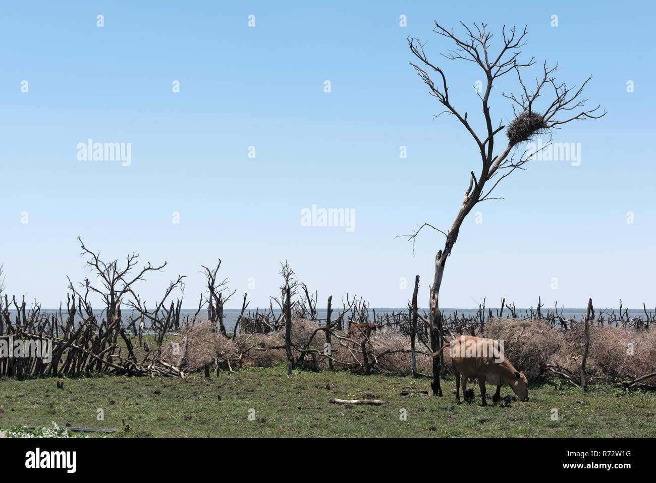 Cattle on a pasture on the shore of Lake Ngami south of the Okawango Delta in Botswana. Stock Photo
