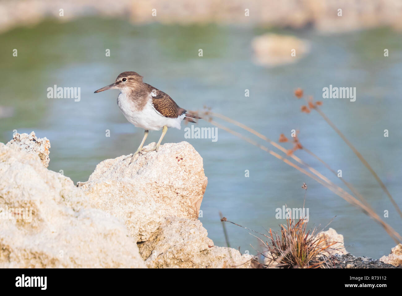 Common Sandpiper Actitis hypoleucos bird on the lookout perched on a rock - Stock Image