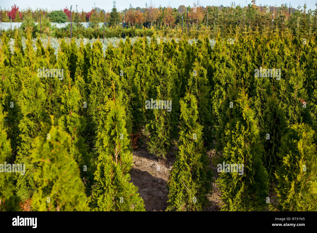 Seedlings of various trees in pots in a garden shop. Sale of many varieties of coniferous and deciduous trees, various flowers, all to decorate your g - Stock Image