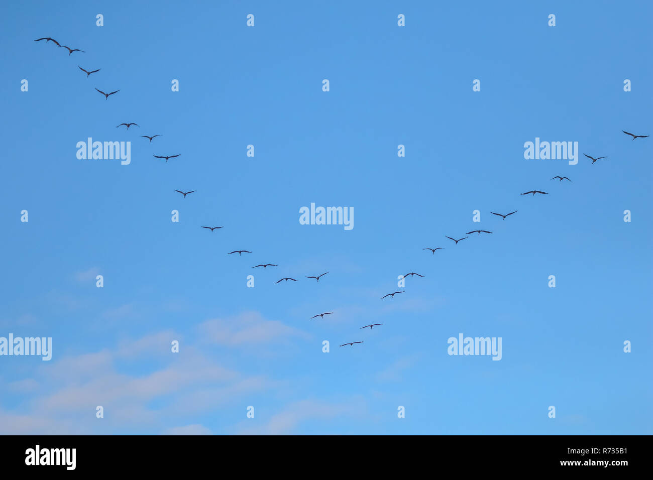 Flock of migratory birds flying in the blue sky. Cranes migrating and flying at a V shape formation. Cranes migrate from latvia to south in autumn sea - Stock Image