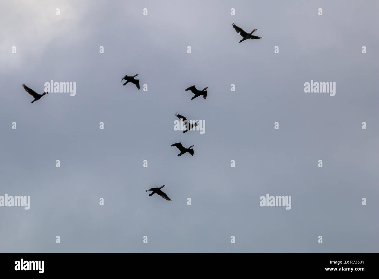 Flock of migratory birds flying in the blue sky. Ducks migrating and flying at a V shape formation. Ducks migrate from latvia to south in autumn seaso - Stock Image