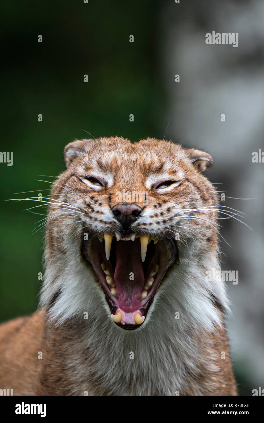 Close up portrait of yawning Eurasian lynx (Lynx lynx) showing teeth and long canines in open mouth - Stock Image