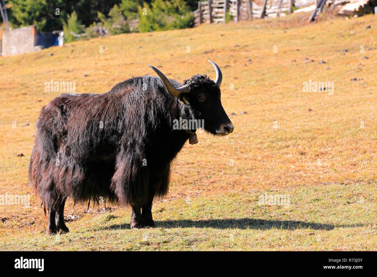 yak, Paznauntal, Tyrol, Austria (Bos mutus grunniens) - Stock Image