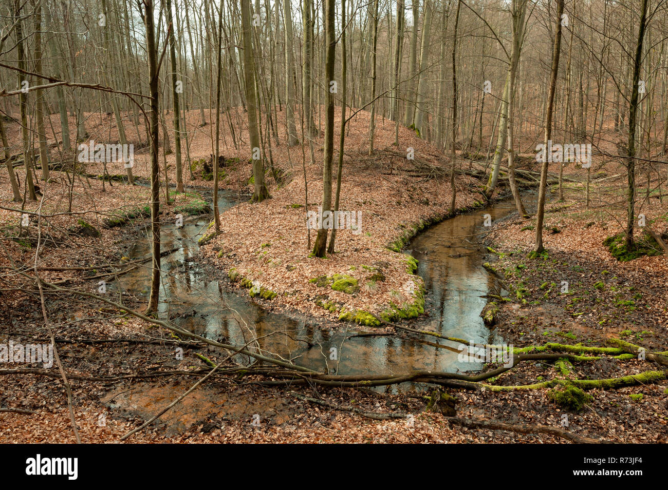 Nonnenfliess, creek, beech forest, (Fagus sylvatica), nature reserve Nonnenfliess, Spechthausen, Brandenburg, Germany - Stock Image