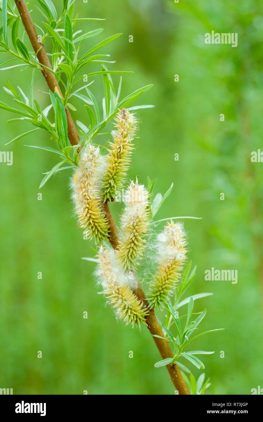 female inflorescence, willow, (Salix spec.), short rotation coppice, Schwedt, Brandenburg, Germany - Stock Image