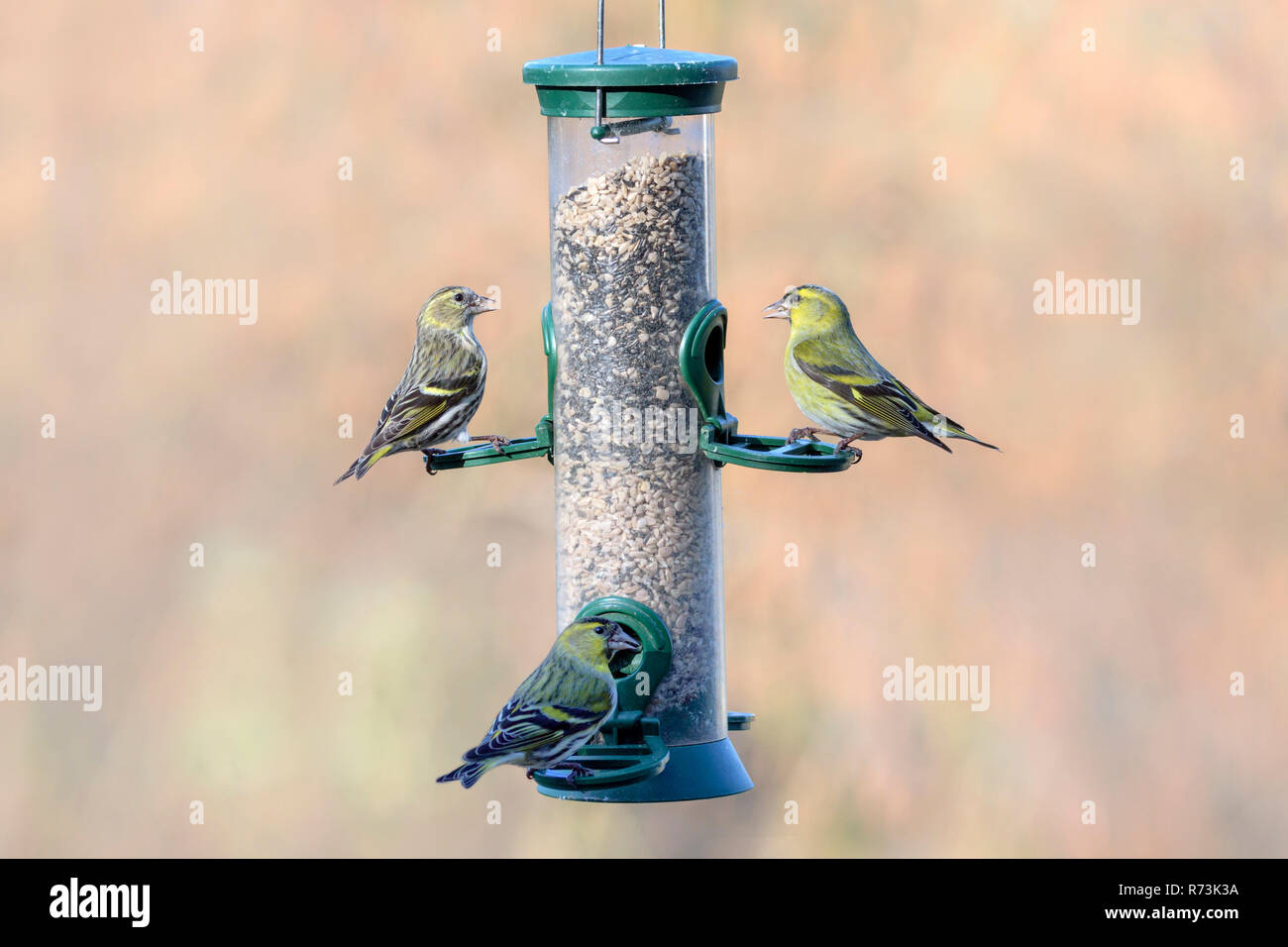 Male and female common siskins, at birdfeeder, Lower Saxony, Germany, (Spinus spinus) - Stock Image