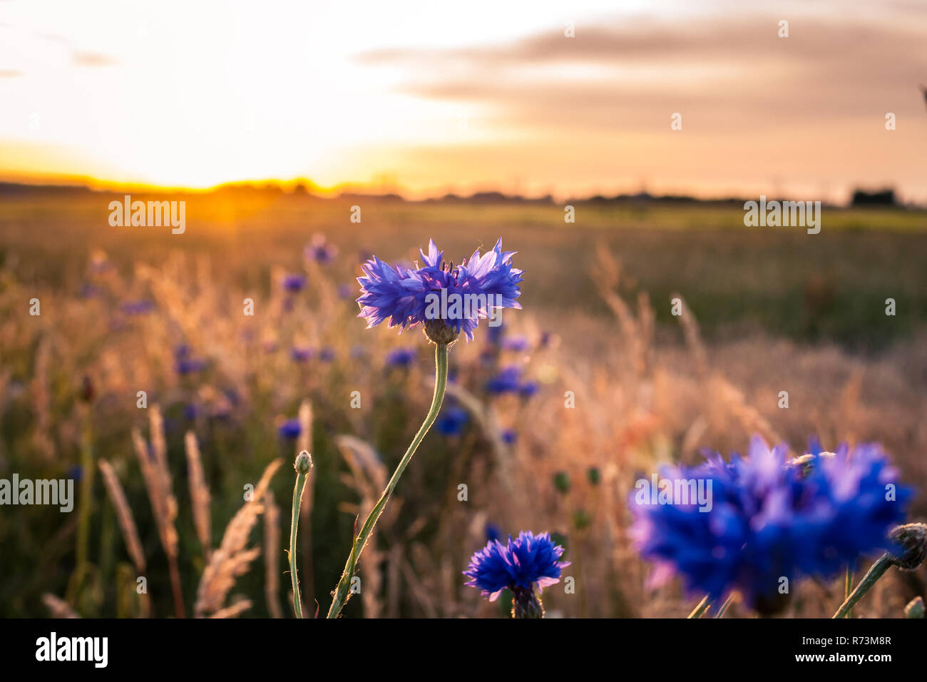 Blue and white cornflowers with bokeh, floral nature background.  Warm, atmospheric sultry summer evening with backlight in the country side of the Ne - Stock Image