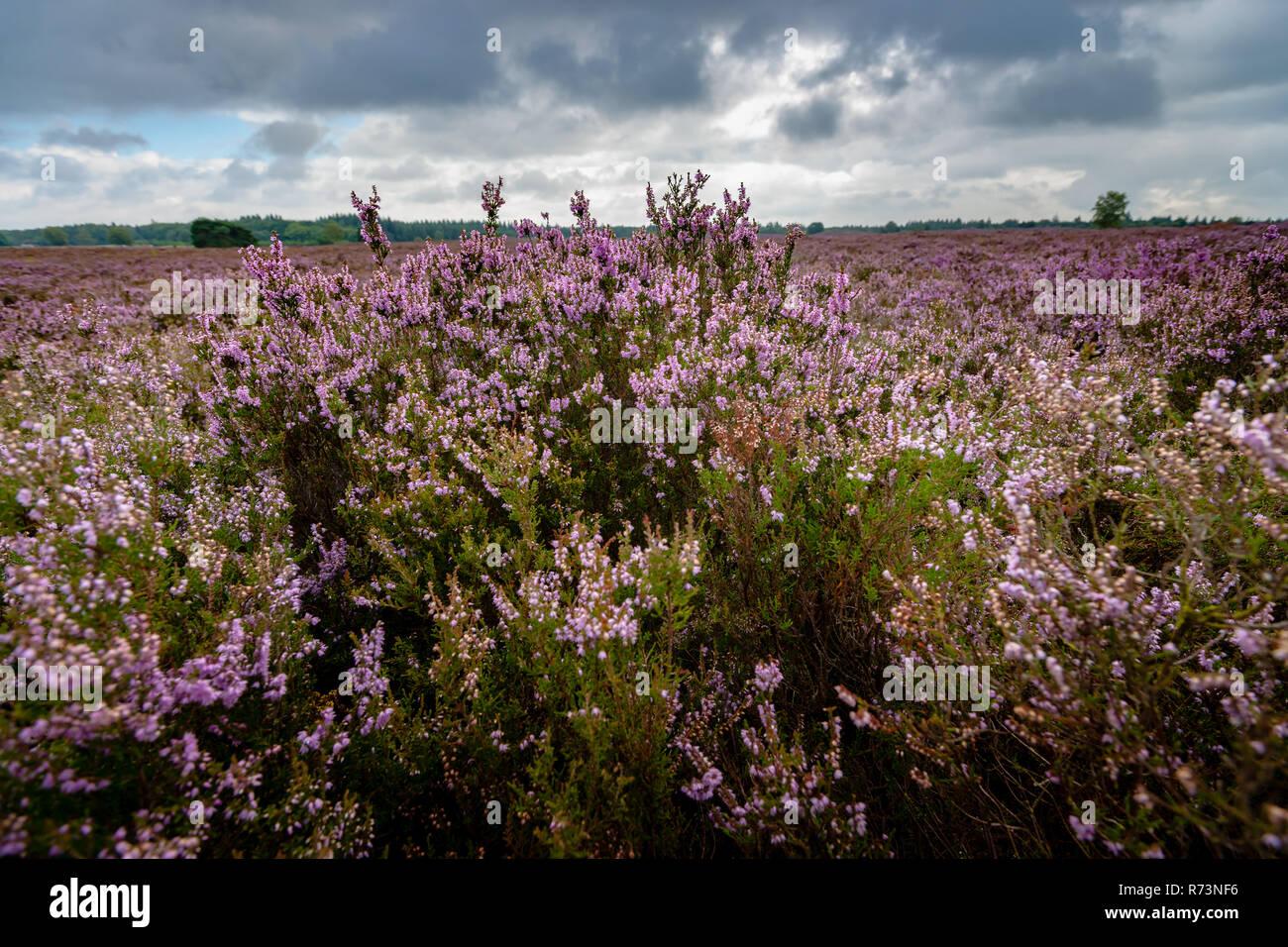 Blooming of beautiful heather flowers, natural seasonal floral background on Dutch Veluwe, renderklippe Heerde, Epe Stock Photo
