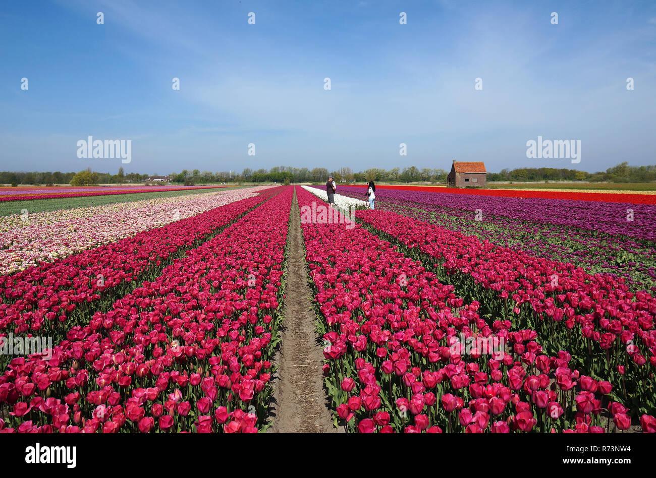 Tourists in pink tulipfield , Bollenstreek, ZuidHolland,Netherlands Stock Photo