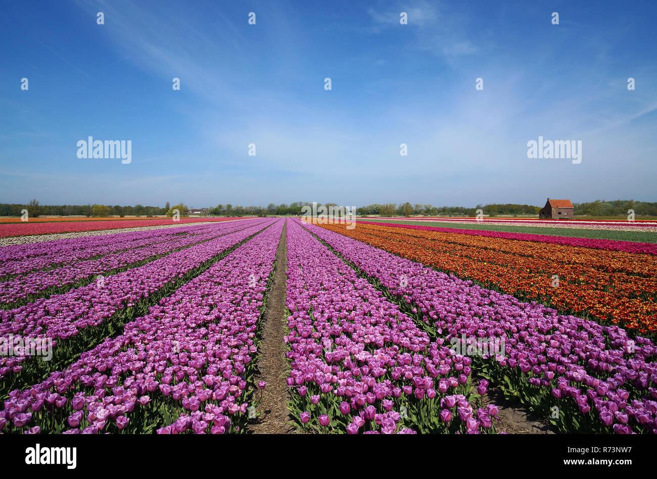 Purple tulipfield and historic lunchbarn, Noordwijkerhout, ZuidHolland,Netherlands Stock Photo