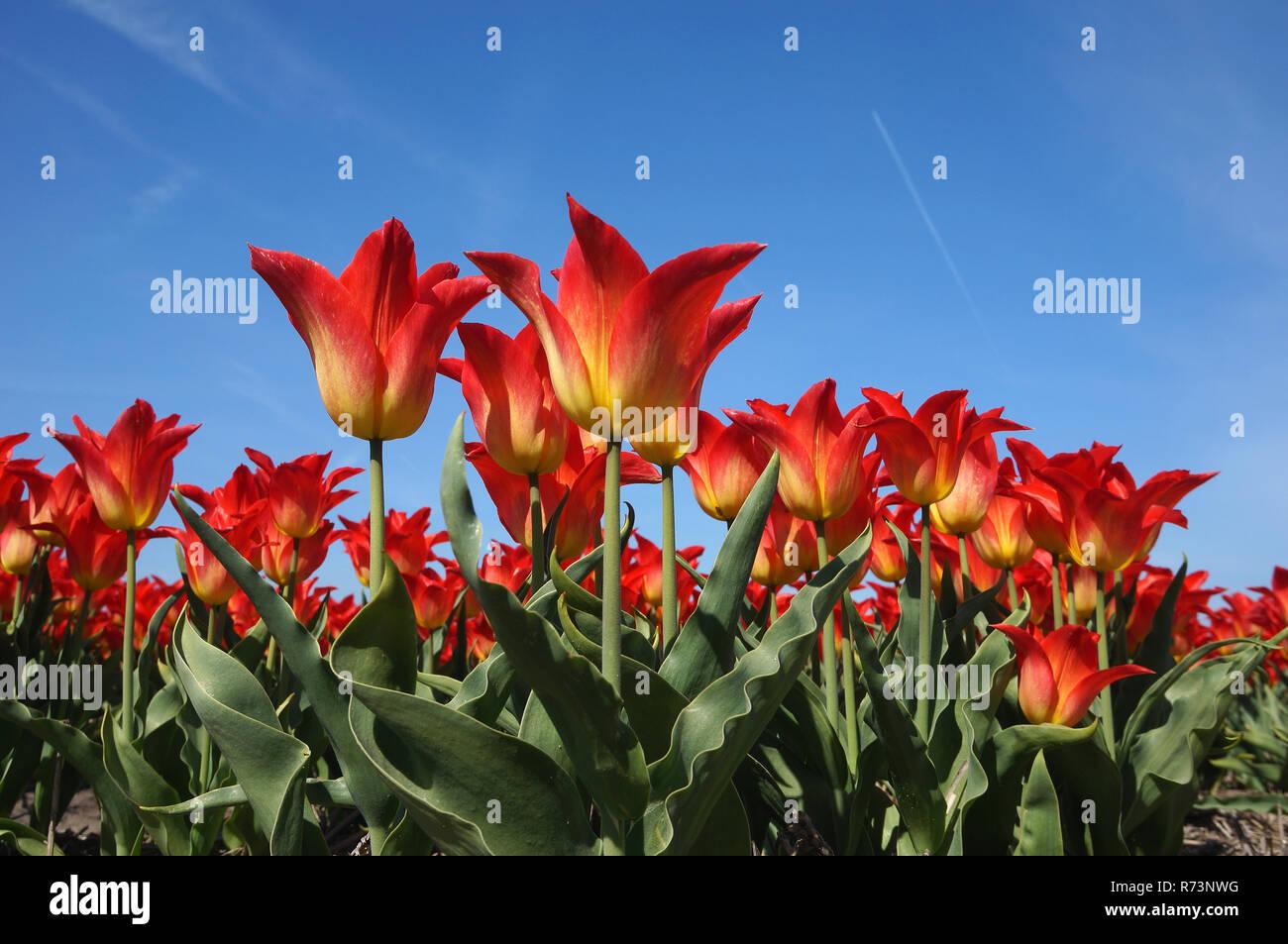 Detail of a red tulipfield in full bloom, Noordwijkerhout, Boillenstreek, Netherlands Stock Photo