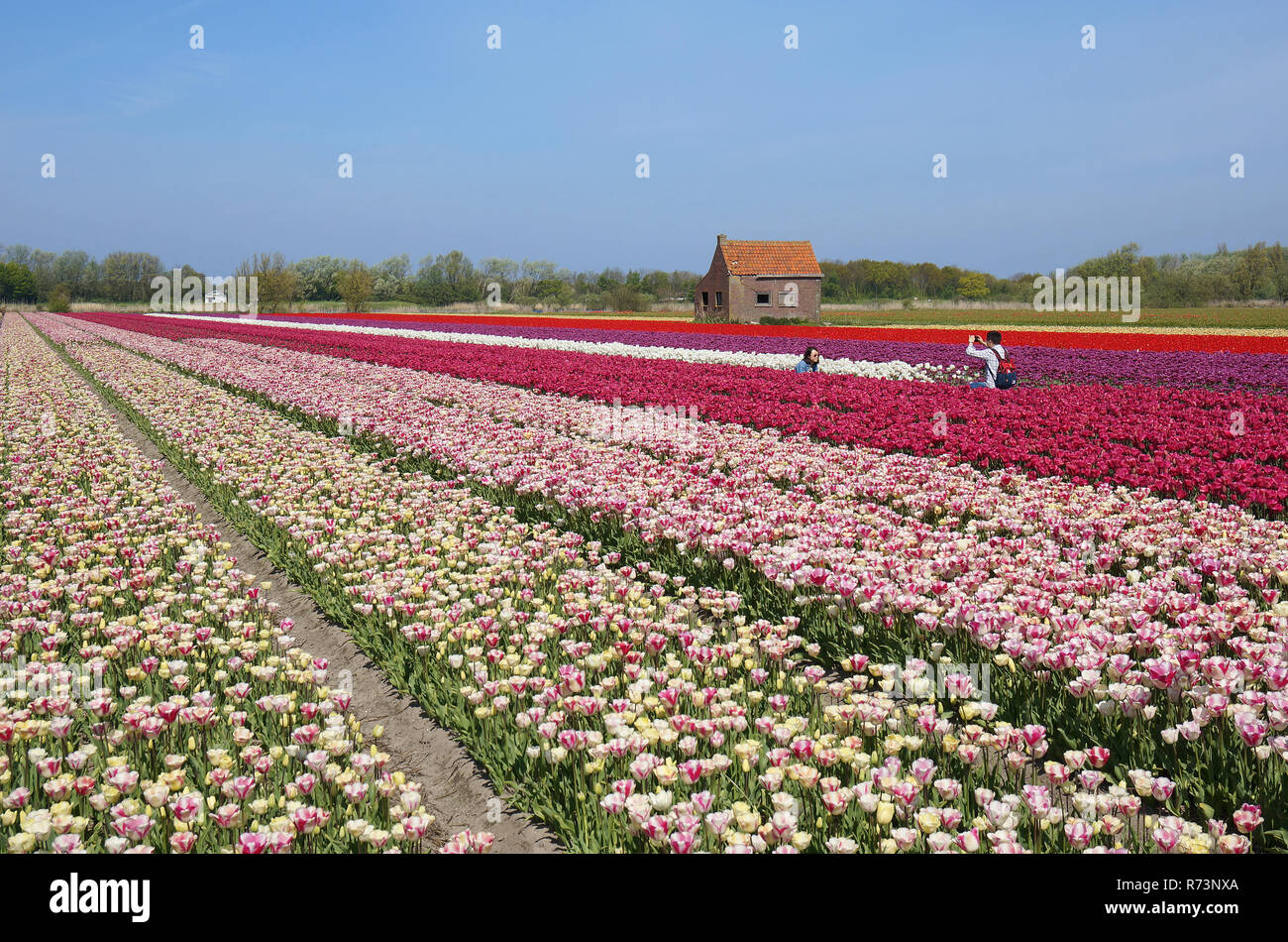 Tourists taking photo's in a tulipfield, Holland,Netherlands. Stock Photo