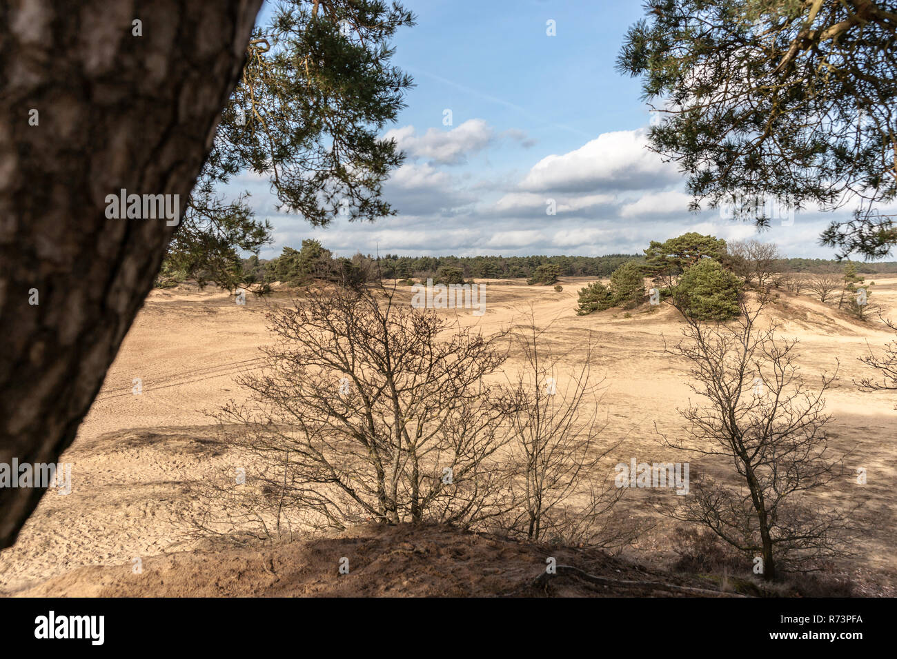 Pine trees and sand dunes in the desert at Kootwijk in the Netherlands - Stock Image