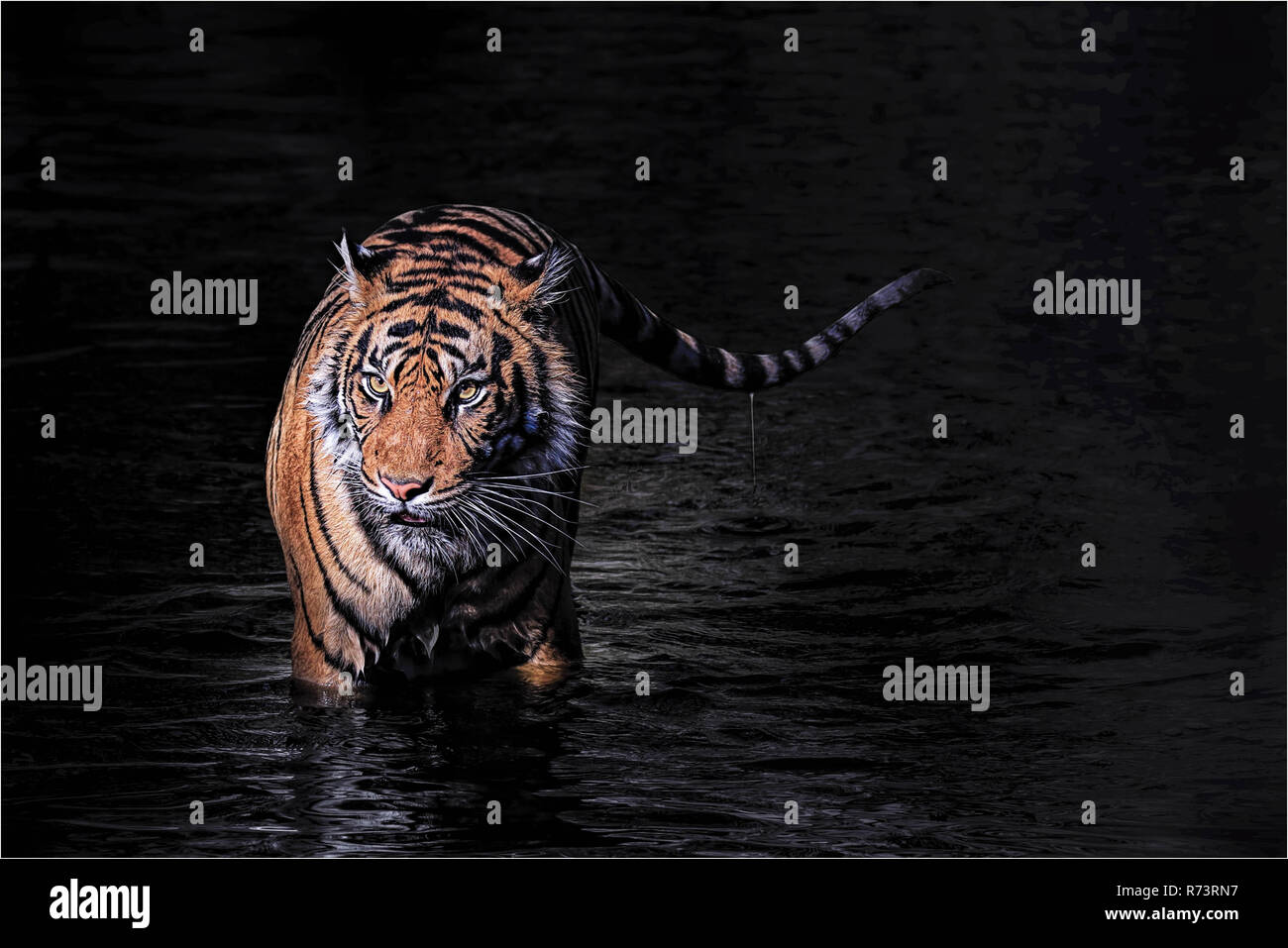 big strong tiger taking a bath in hot summer - Stock Image