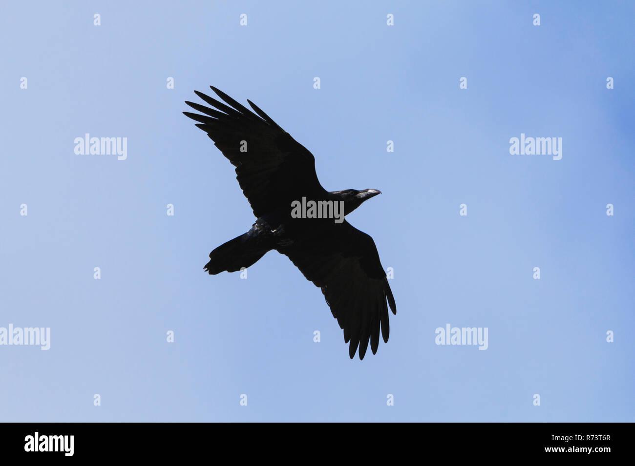 Common raven Corvus corax flying siluet in blue sky - Stock Image
