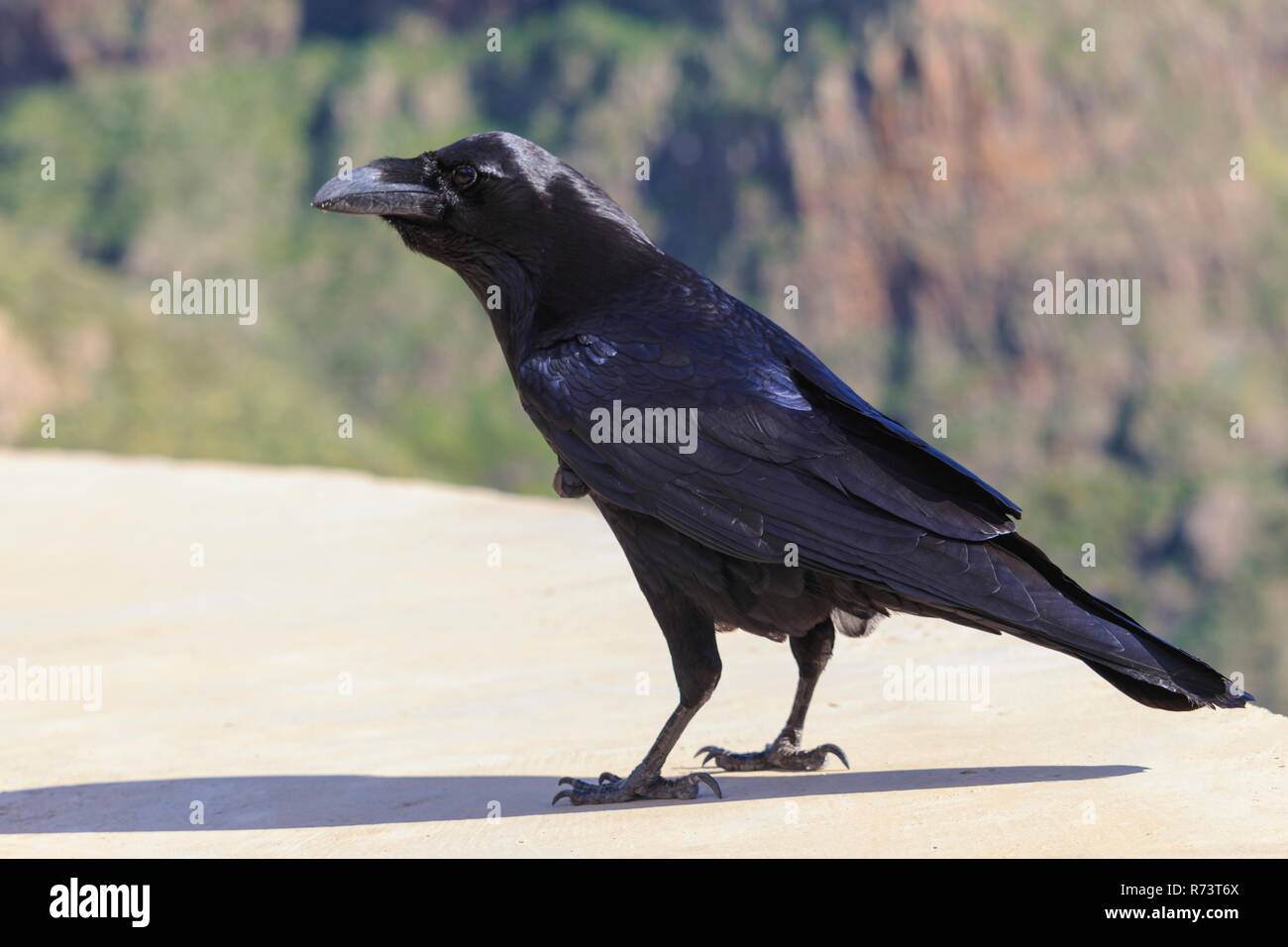 Common raven Corvus corax view from side - Stock Image