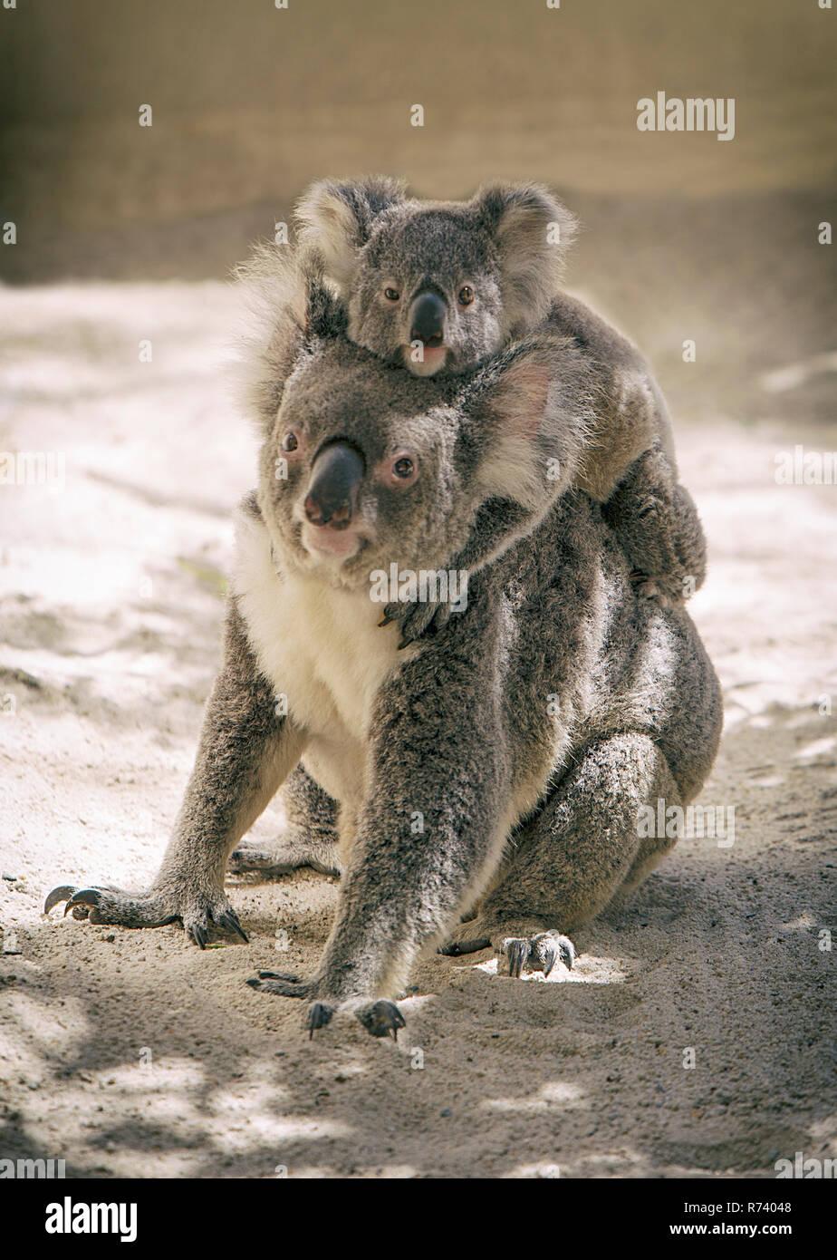 baby koala climbed on the back of mama koala - Stock Image