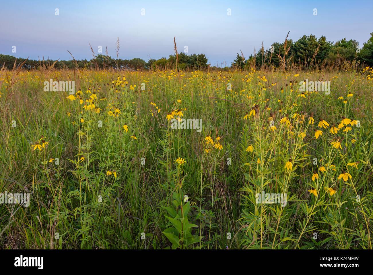 Gray-headed coneflowers (Ratibida pinnata), Prairie, August, Whitetail Woods Regional Park, Dakota Co., MN, USA, by Dominique Braud/Dembinsky Photo As - Stock Image
