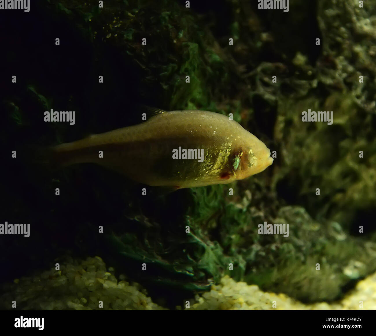 Cave fish / blind bave fish or mexican tetra swimming in cave underwater (Astyanax fasciatus mexicanus) - Stock Image