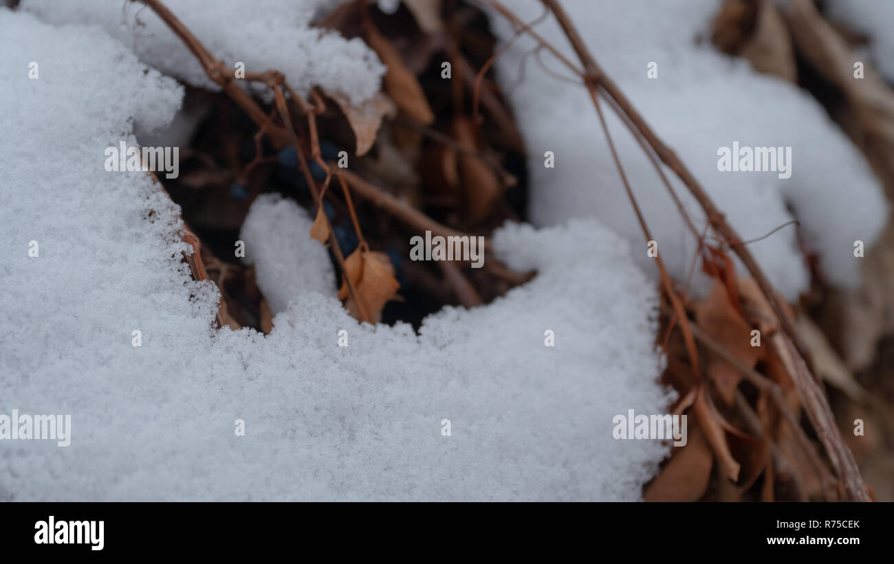 Snow covers brown dead vines and leaves in winter. - Stock Image