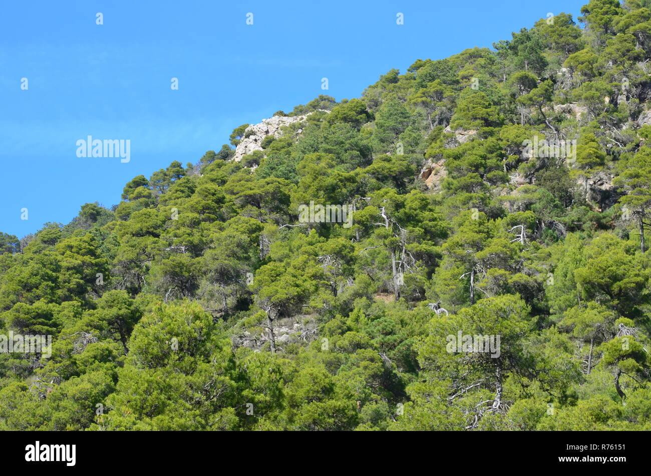 Aleppo pine Pinus halepensis forests in Sierra Espuña massif, Murcia (South-eastern Spain) - Stock Image