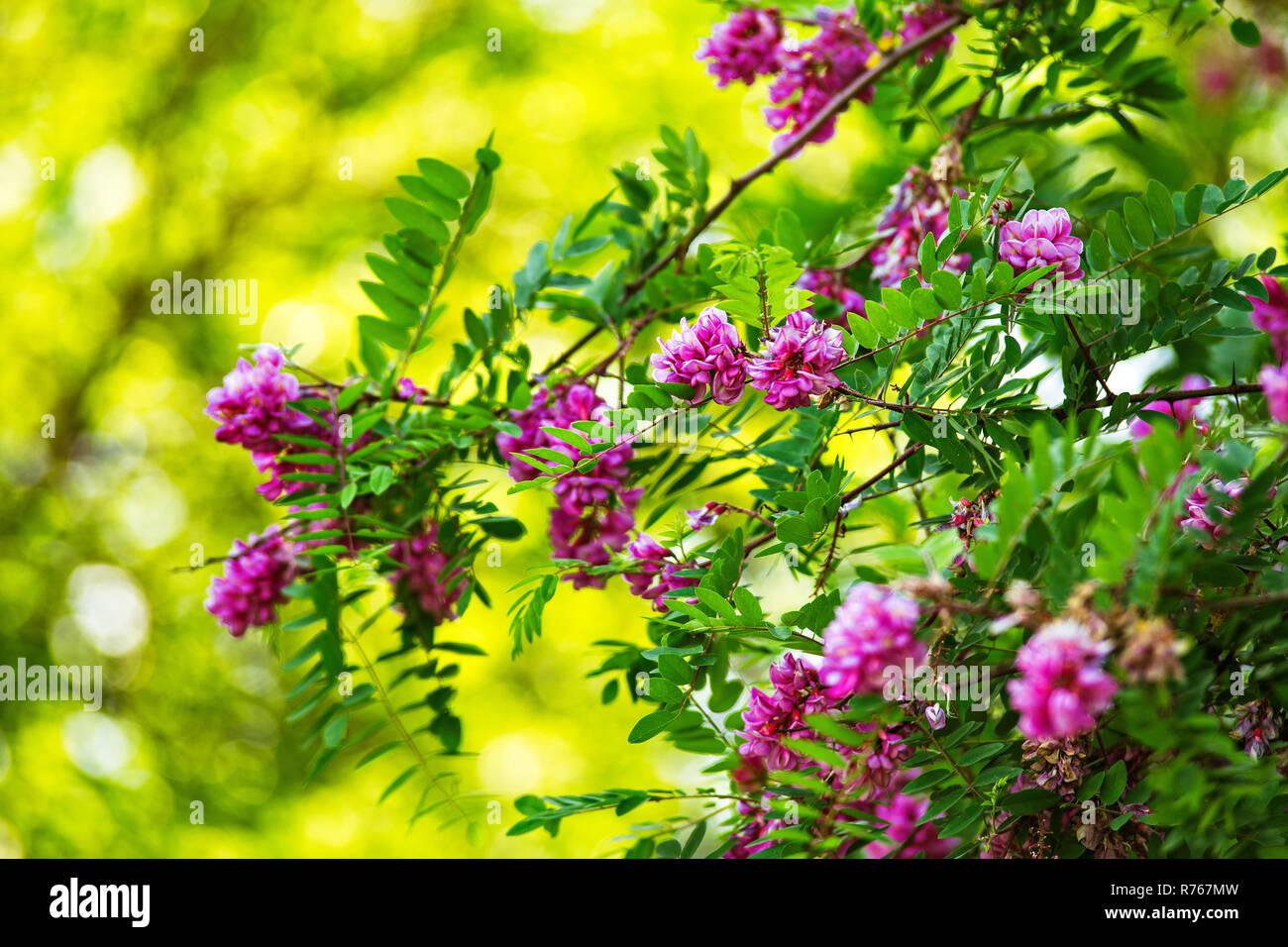 Purple Acacia Tree Blooming Pink Robinia Flowers Stock Photo