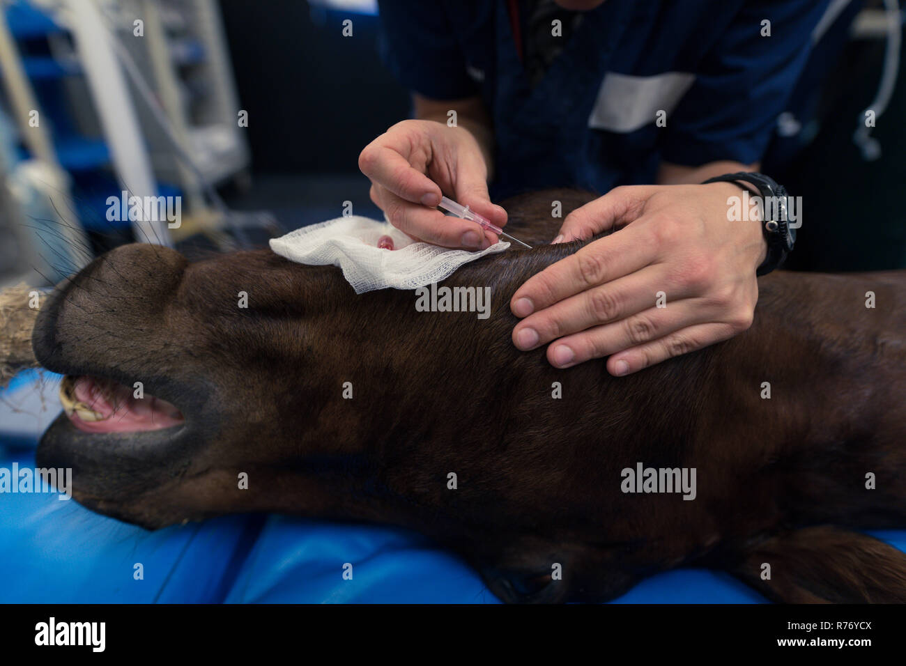 Female surgeon operating a horse in operation theatre - Stock Image