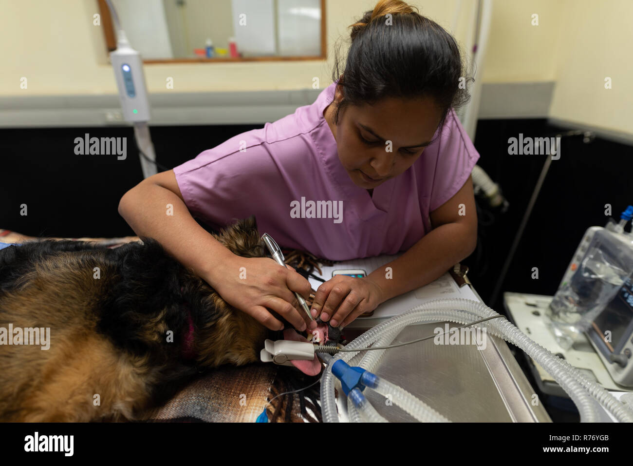 Female nurse examining a dog in operation theatre - Stock Image