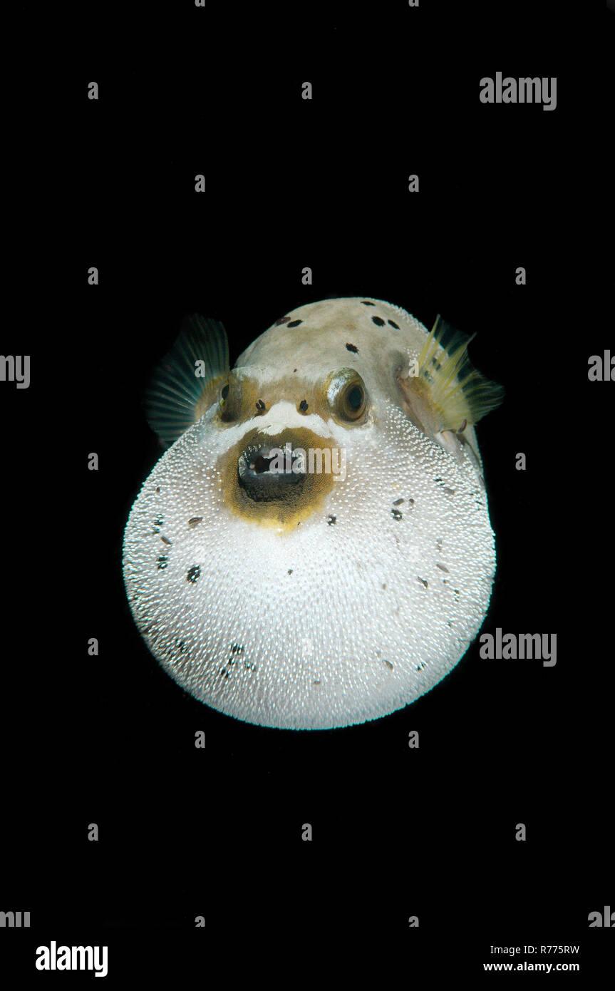 Blackspotted Puffer or Dog-faced Puffer (Arothron nigropunctatus), Bohol Sea, Cebu, Philippines Stock Photo