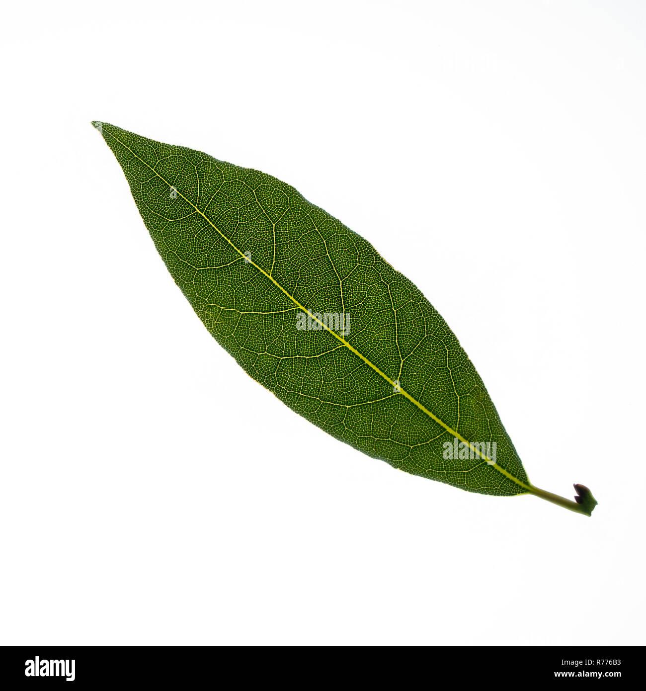 bay leaf - Stock Image