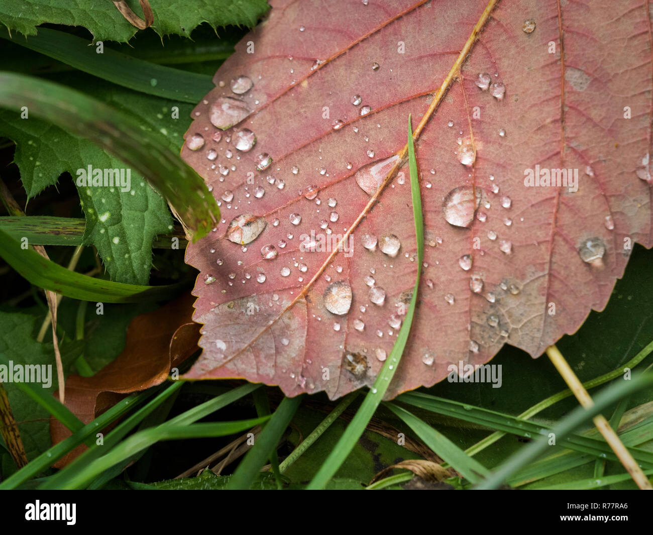 Close-up of a red leaf with raindrops in the grass - Stock Image